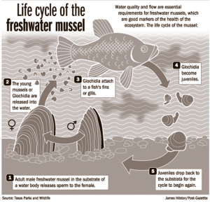 Life cycle of the freshwater mussel