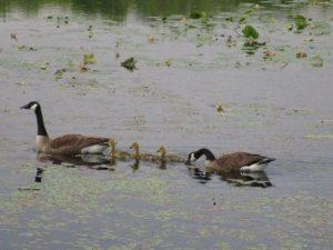 Canada Geese at Helmetta Pond