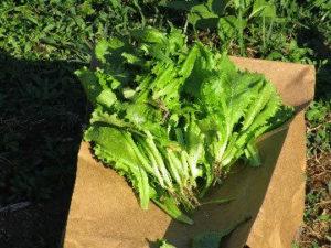 Sapia - 6.26.16 lettuce