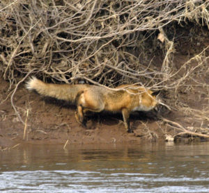 mish-red-fox-2-oct-2016