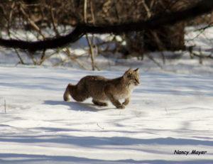 mish-bobcat