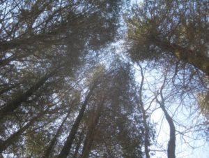Sapia - Looking skyward from Atlantic White Cedar Swamp