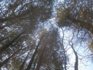 Sapia - Looking skyward from Atlantic White Cedar Swamp