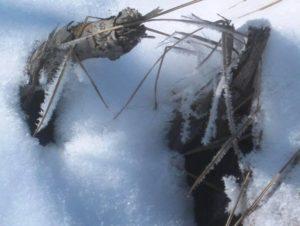 Sapia - hoar frost on twigs