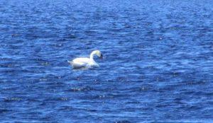 4.18.17 - Sapia - mute swan at Helmetta Pond
