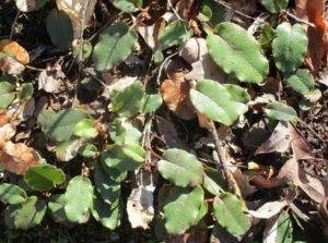 4.18.17 - Sapia unflowering trailing arbutus, May Pink