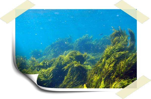 seaweed fuciadin