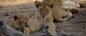 Lower Zambezi lion cubs