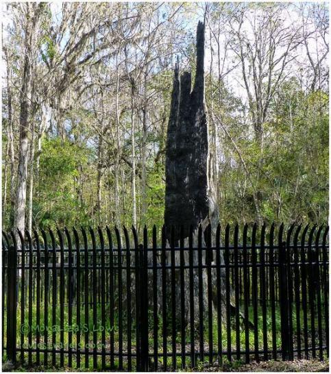 """"""" The Senator"""",Big Tree"""