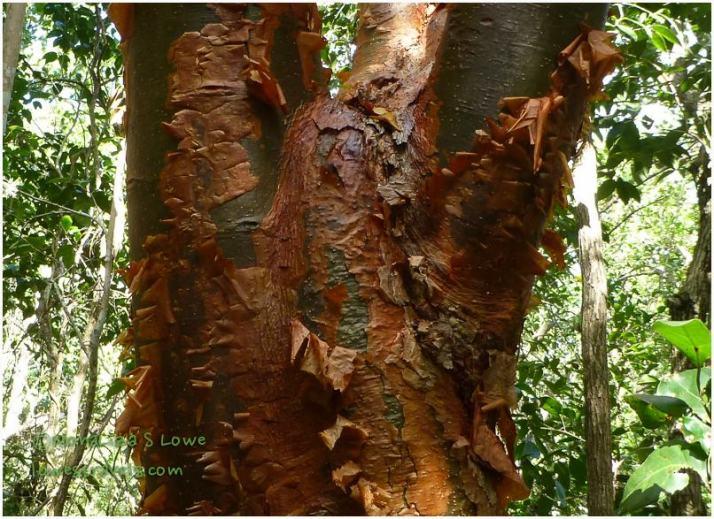 Gumbo Limbo Tree