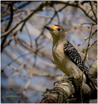 Golden Fronted Woodpecker