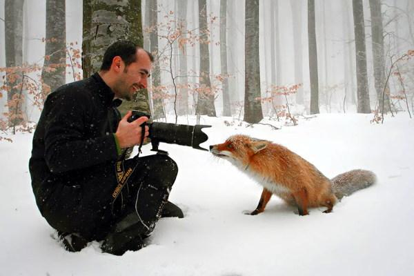 One of a series of photographs showing animals breaking the third wall and interacting with photographers and their equipment. In this case a fox looking directly into a lens from centimetres away.