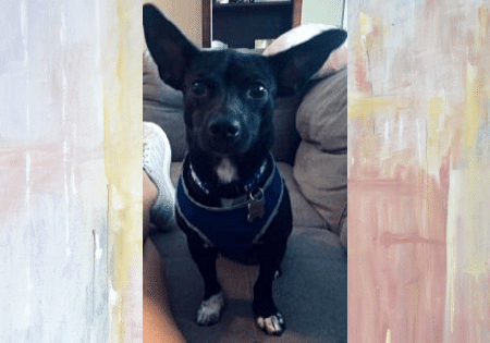 Adoptable Chiweenie Lily