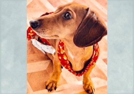 Adoptable Dachshund Roscoe