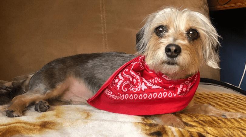 Adoptable Dog Roscoe
