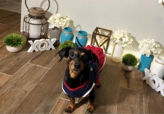 Pixie Adoptable Dachshund Mix