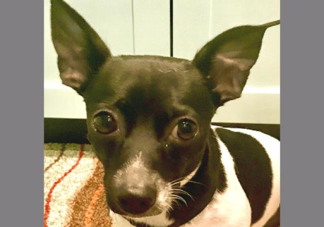 Doxie Chihuahua Mix Aspen