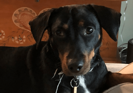 Doxie Mix Marshall for adoption