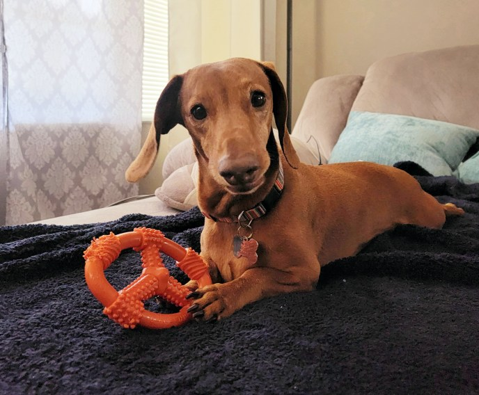 Adoptable Dachshund Rusty