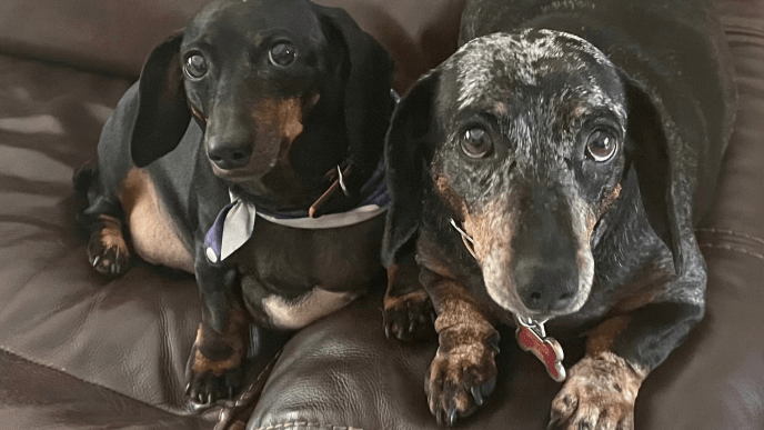Lacey and Allie Adoptable Dachshunds
