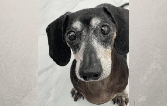 Adoptable Dachshund Duke