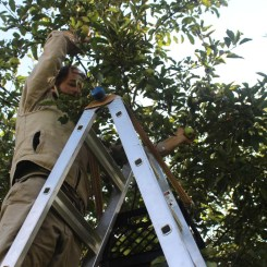 Ladder picking.