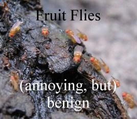 FruitFlies
