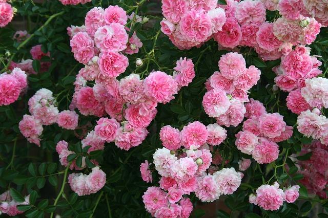 Pink climbing and rambling rose