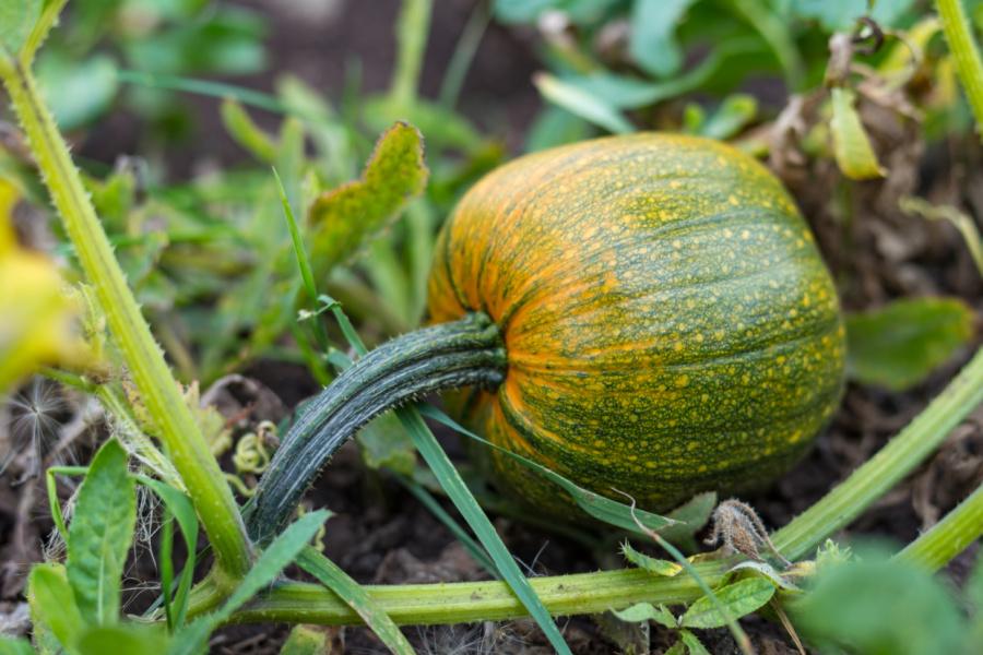Pumpkin growing in a patch