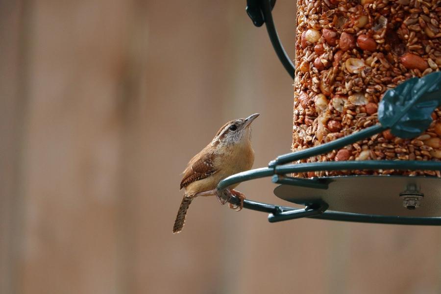 Wren on a bird feeder