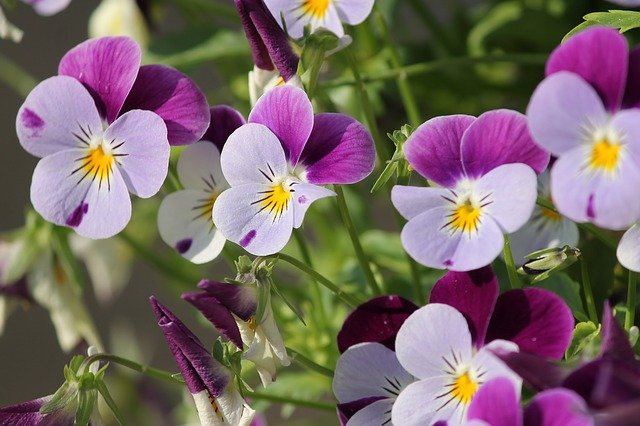 purple and lilac winter pansies