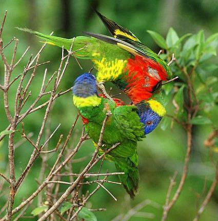 porrots mating