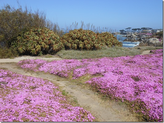 Pacific Grove iceplant 061