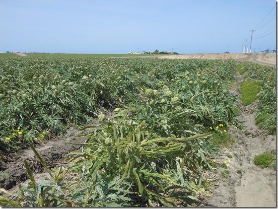 castroville artichokes 025