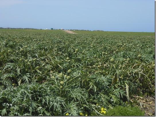 castroville artichokes 035