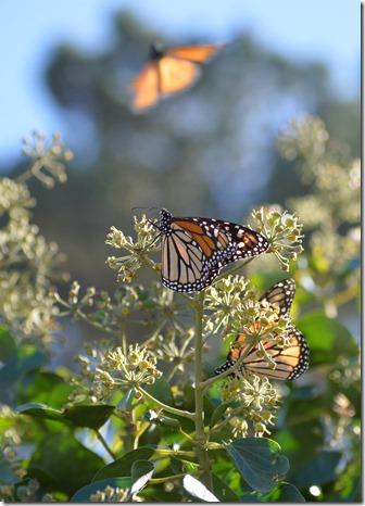 Monarchs-8