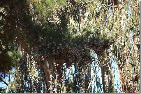 Pine monarchs