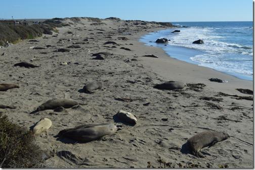 Elephant seals beach