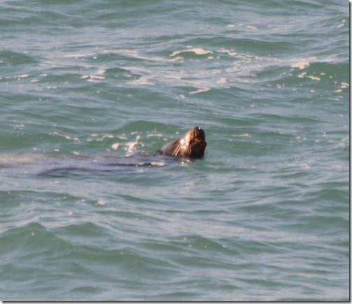 Sea lion off Malibu