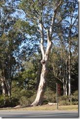 GGP Eucalyptus