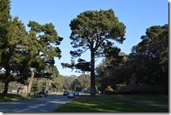 GGP Monterey pine