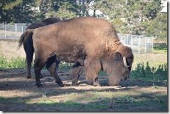 GGP bison-2