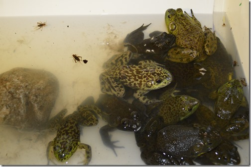 Frog tank