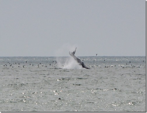Humpback breach (2)