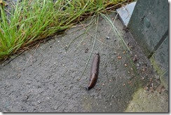 Norway slug