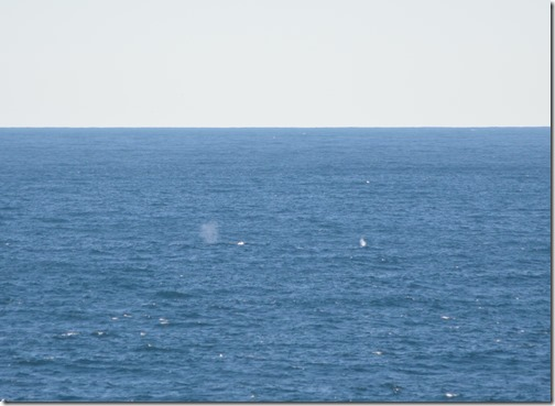 Two gray whales