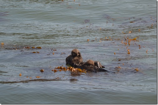 Sea otter twins-1