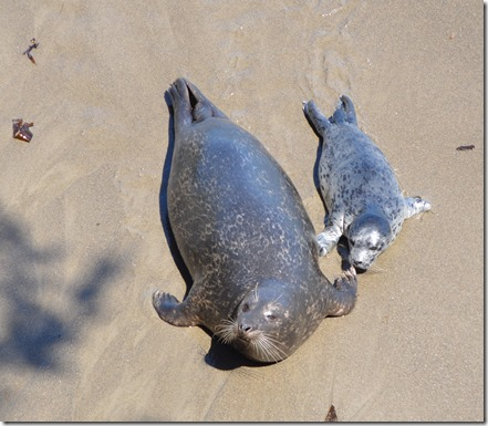 harbor seal pup and mom