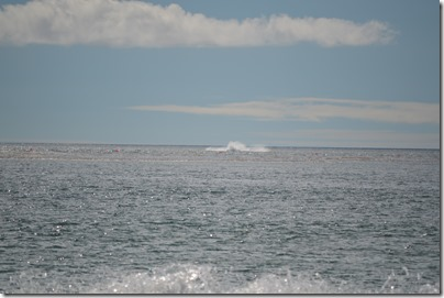 Carmel whale