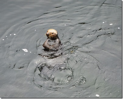 otter-up-in-water